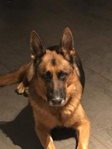 Lago, chien-mediateur berger allemand